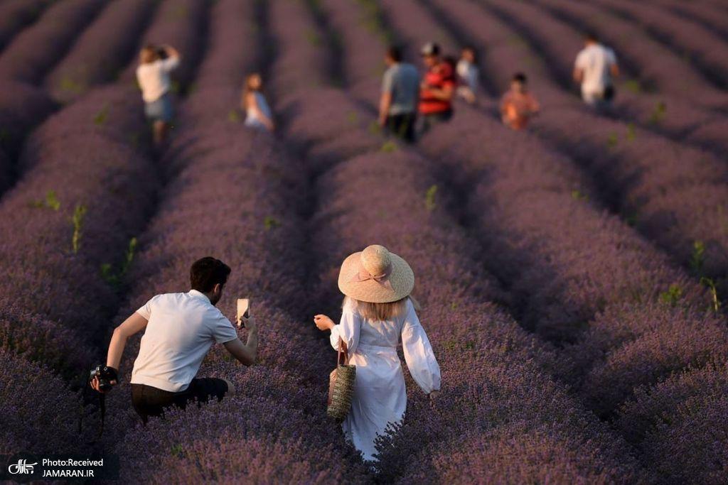 زیباترین مزرعه دنیا+عکس