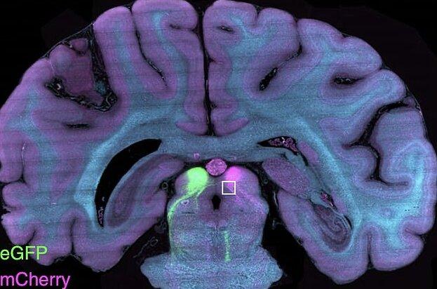 تصویر سهبعدی واضح از مغز میمون